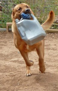 Dog running and playing, with chewtoy and oil can in his mouth.