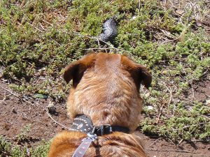 Dog pulling on leash, and looking at a Shingleback lizard.