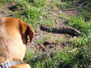 Dog looking at a Blue Tongue lizard.