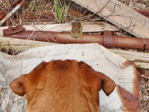Dog looking at lizard.