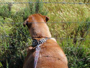 Dog pulling on leash, sticking head through fence in a grassy field.