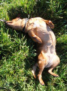 Female dog blissfully rolling on her back, in wet grass.