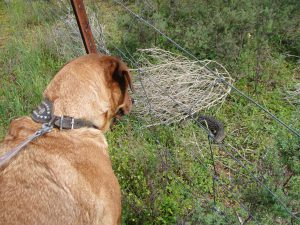 Dog pulling on leash, looking at lizard on other side of fence.