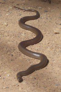 Photo of Eastern Brown Snake