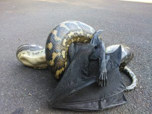Snake eating a bat