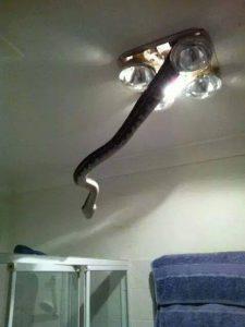 Snake Lowering Itself From Ceiling in Bathroom