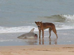 Dingo eating shark carcass on beach